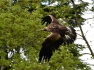 golden-eagle2