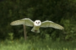 """Barney"" the barn owl in flight"