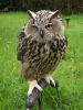 """Fluffy'"" the European Eagle Owl"