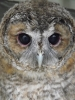 """Woodie"" the tawny owl"