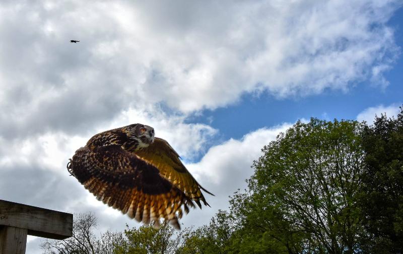 eagleowl1