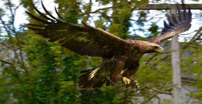 golden-eagle1