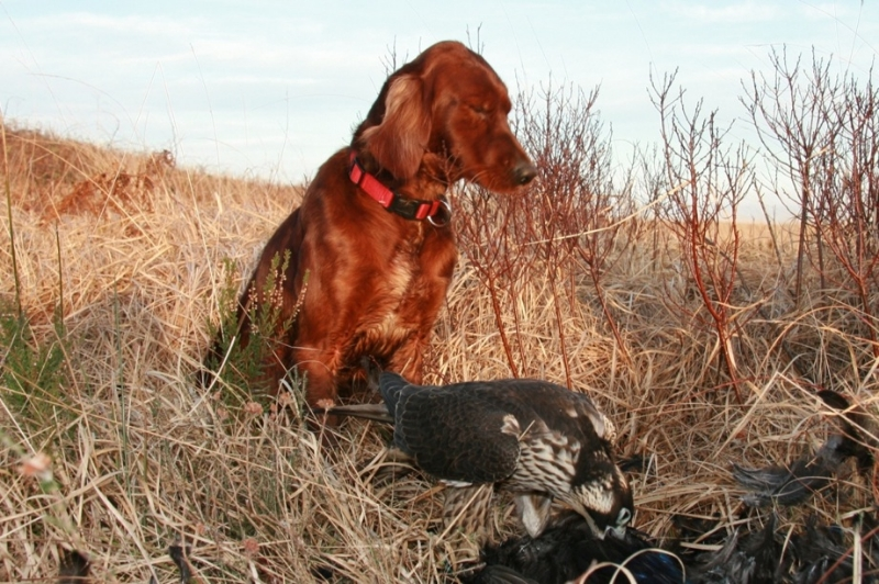 Red Setter with falcon