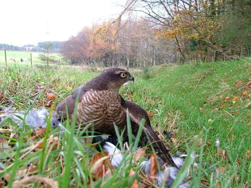 Magpie hawking
