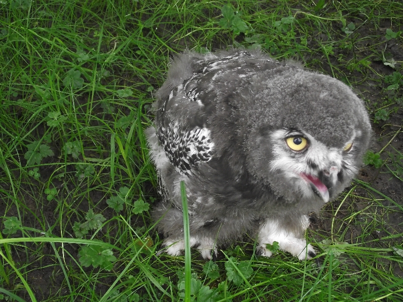 ""\""""Speckles"""" the snowy owl""800|600|?|en|2|117907aa4c6e6dbfa5cab732b93691b3|False|UNLIKELY|0.2804936468601227