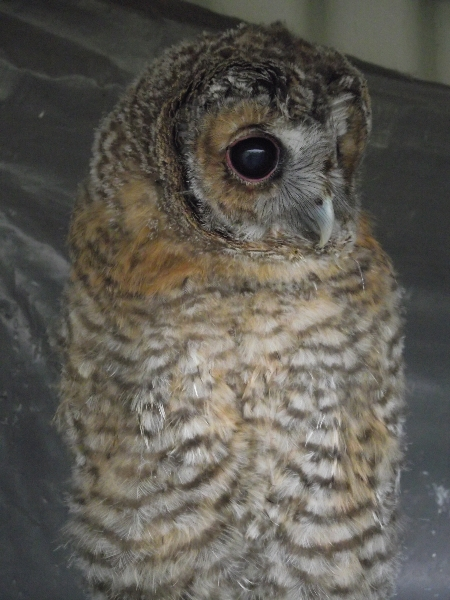 ""\""""Woodie"""" the tawny owl""450|600|?|en|2|5657ede9e1ed3038956d9cb5136d3d94|False|UNLIKELY|0.29945409297943115